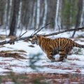 Sibirischer Tiger im Winter
