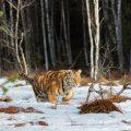 Sibirischer Tiger im Winter