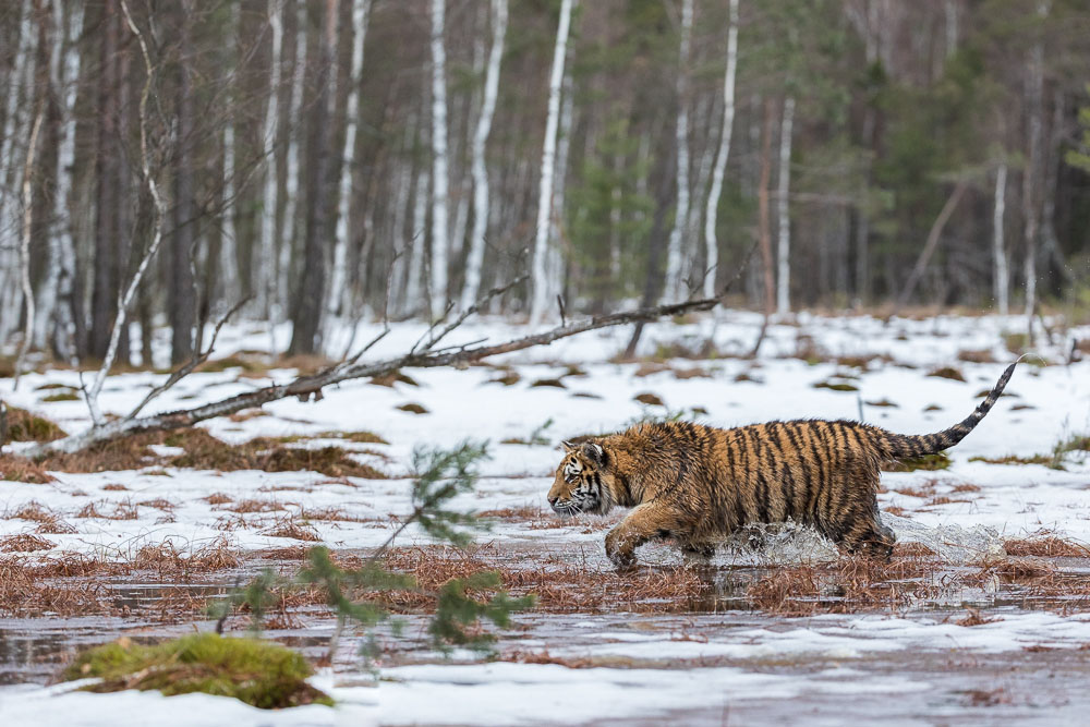 Sibirischer  Tiger (Panthera tigris altaica), im Sumpf