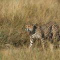 Gepard (Acinonyx jubatus)