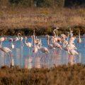 . Flamingos (Phoenicopteridae)