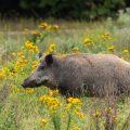 . Wildschwein (Sus scrofa)
