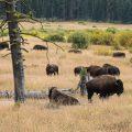 Amerikanischer Präriebison (Bos bison bison)
