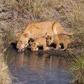 . Löwe (Panthera leo)