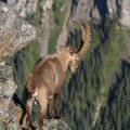 . Alpensteinbock (Capra ibex)