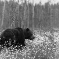 . Eurasischer  Braunbär (Ursus arctos arctos)