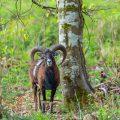 Mufflon (Ovis gmelini musimon)